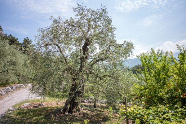 Olivenbaum, Leica M10 mit 28mm Summicron bei f/4.0  1/2000sec  ISO 100