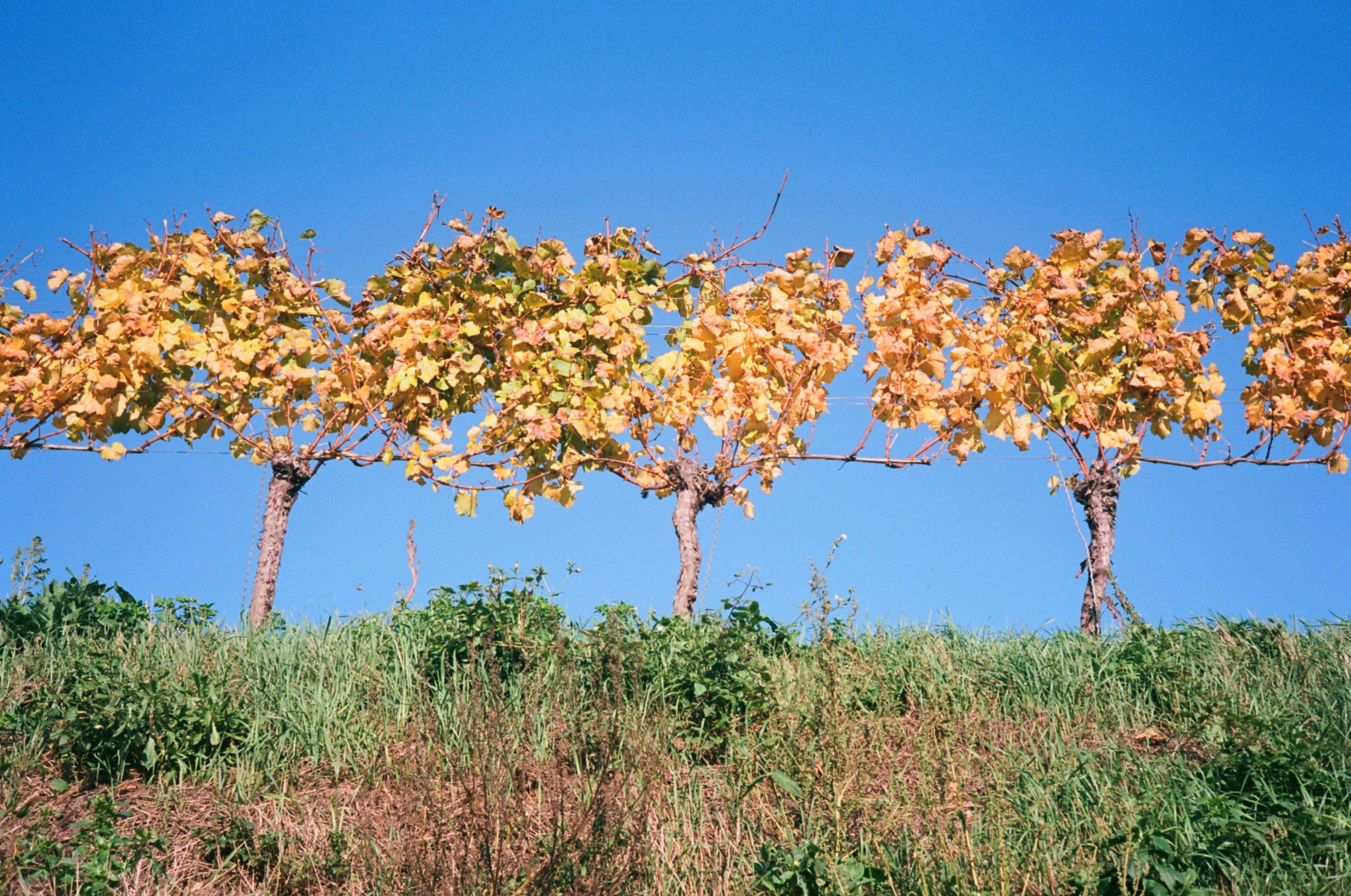 Herbst im Weinberg. Rollei 35 RF mit Rollei Sonnar 40/2.8. Kodak Ektar 100.