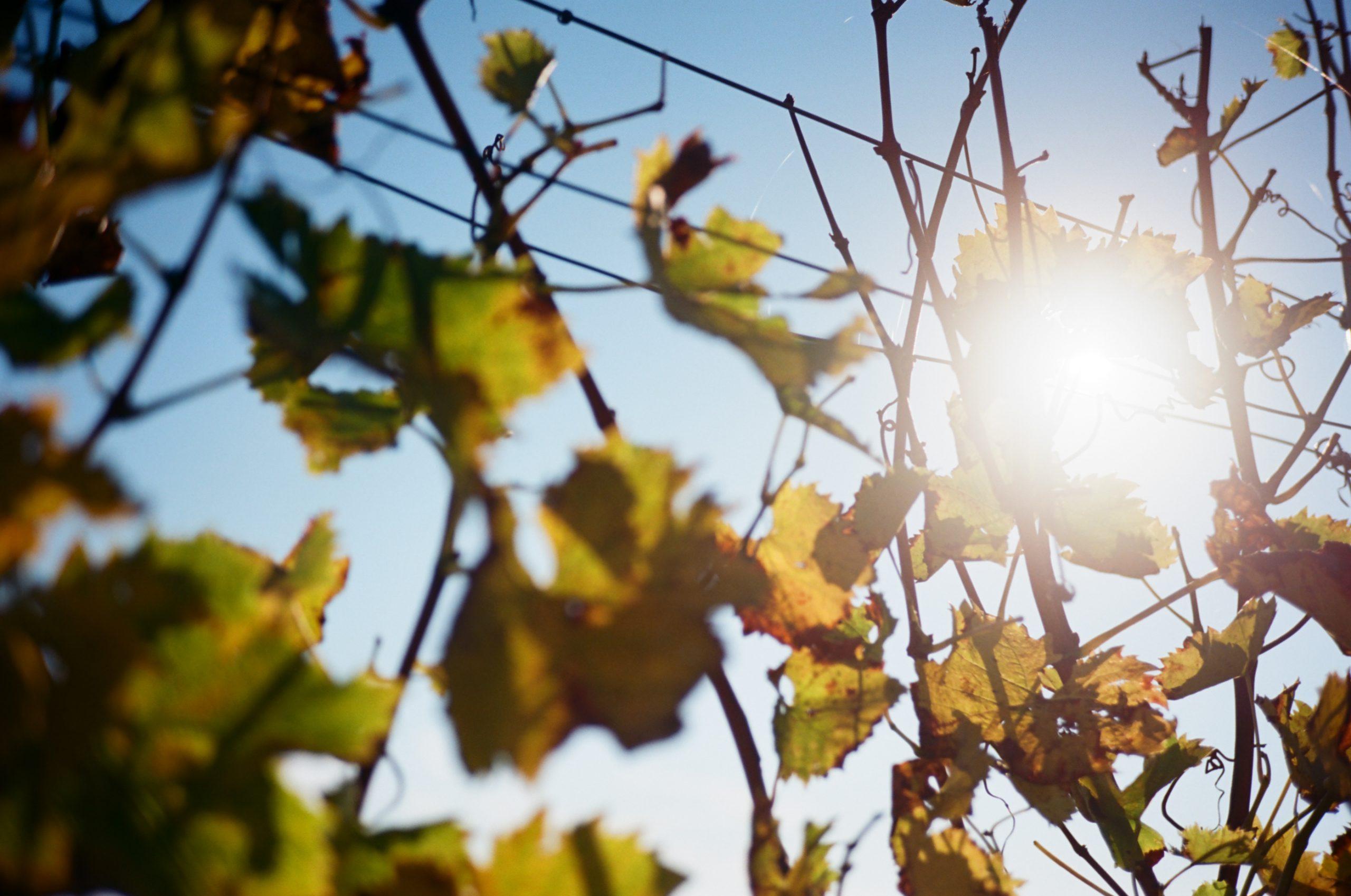 Sonne! Für Fotografen und Weinliebhaber gleichmaßen wichtig. Das Rollei-Sonnar scheint wirklich hochwertig vergütet zu sein. Rollei 35 RF mit Rollei Sonnar 40/2.8. Kodak Ektar 100.