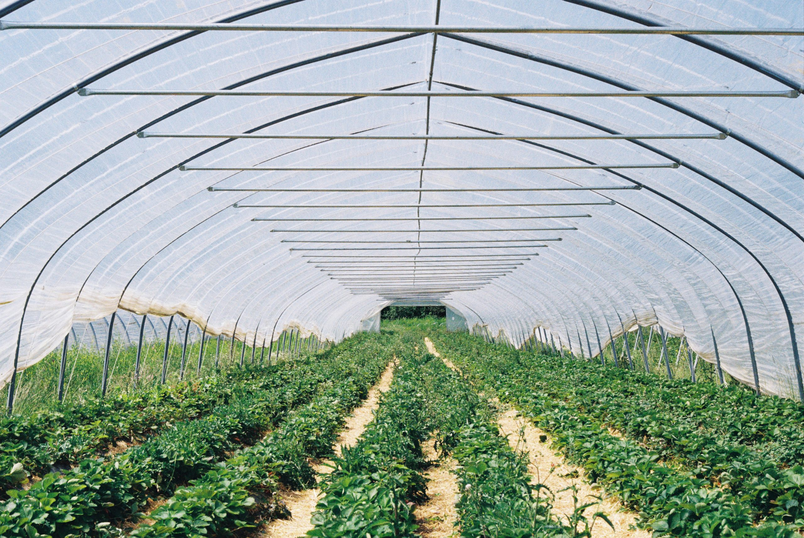 Strawberry lanes. Zeiss Ikon mit Biogon 25/2.8 ZM. Kodak Gold 200