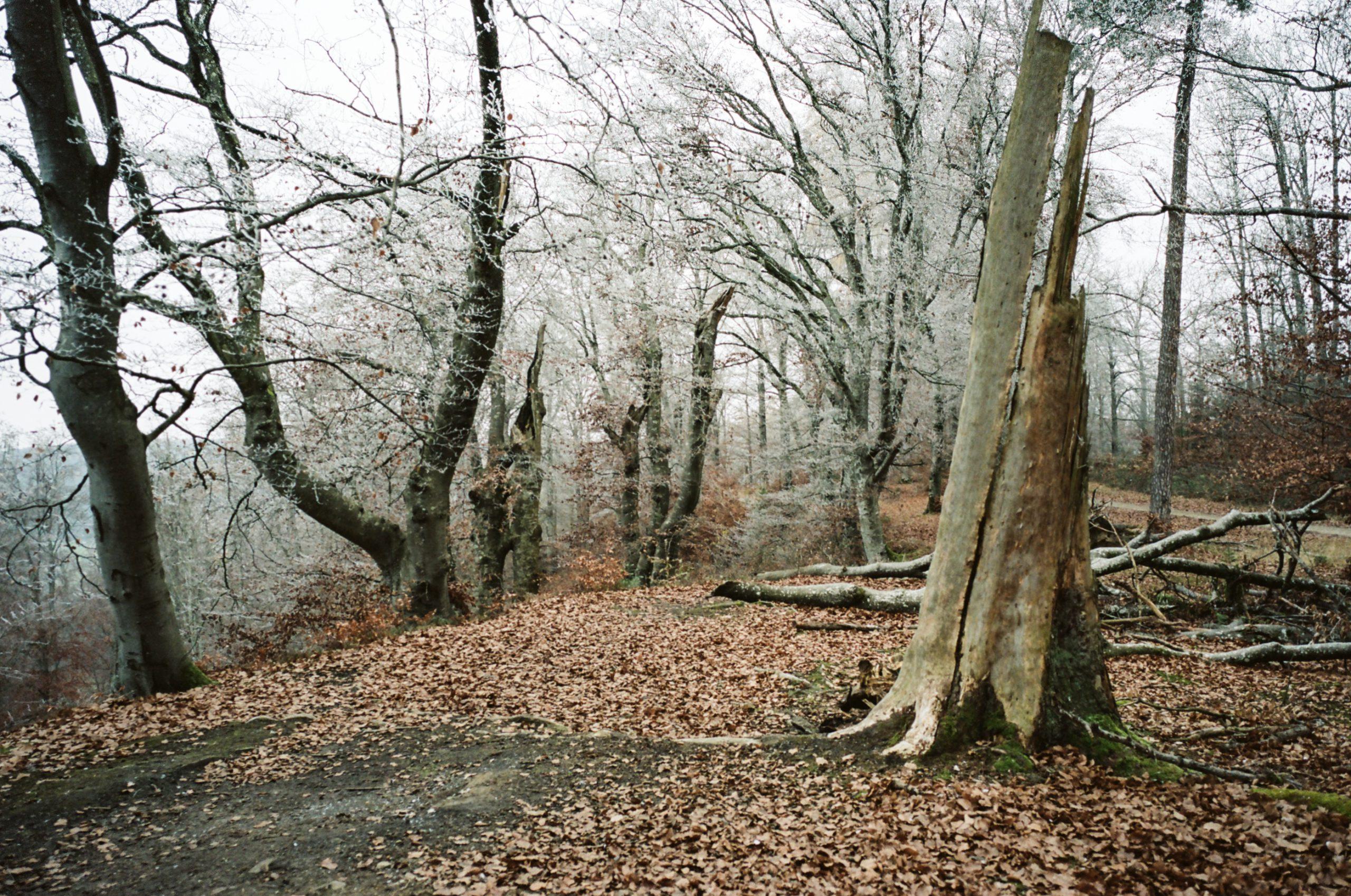 Ein bisschen Eis auf den Bäumen, der Winter ist nicht mehr fern. Zeiss Ikon mit Biogon 35/2.8 ZM. Kodak Portra 160.