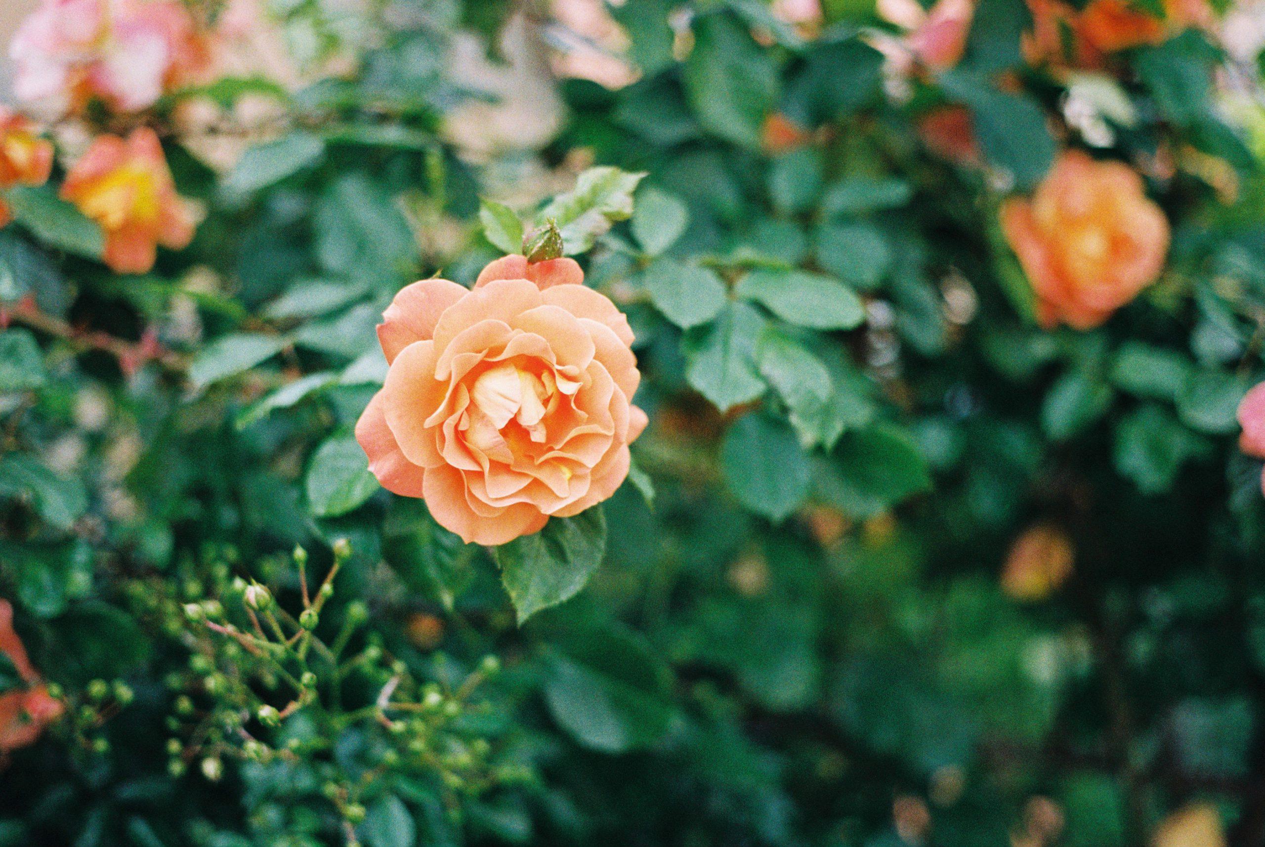 Eine Rose ist…? Zeiss Ikon mit Zeiss Planar 50/2 ZM. Kodak Gold 200