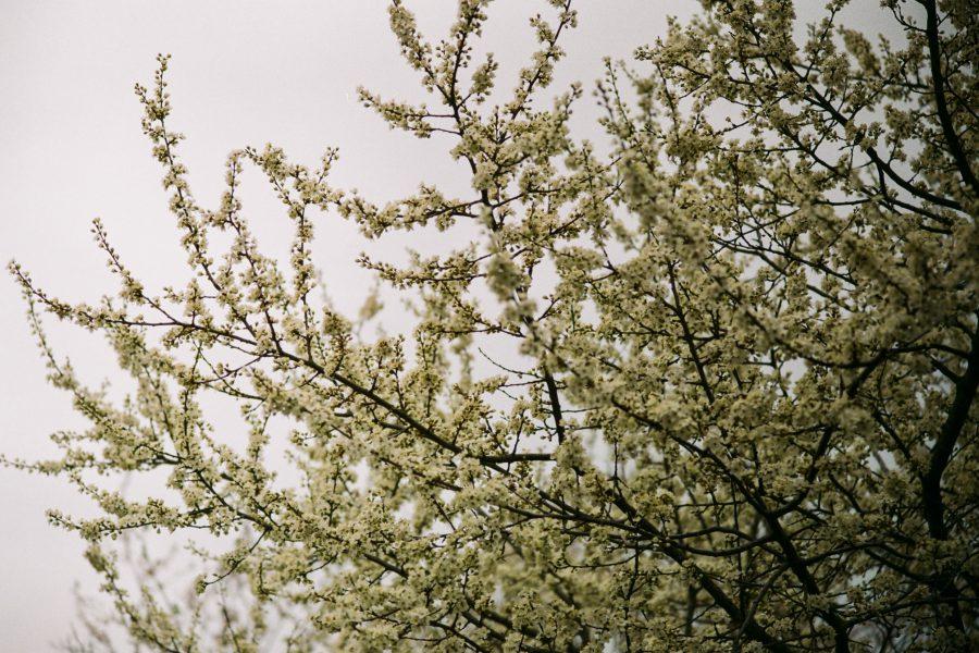 Irgendwie typisch für diesen Frühling 2021. Zurückhaltend, bedeckt. Aber immerhin, nach diesem schrecklichen Winter. M-Rokkor 90/4 an Minolta CLE, Fuji C200