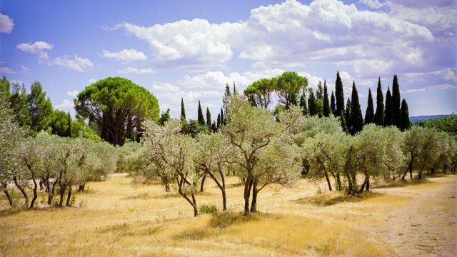 Der Atem von Olivenbäumen